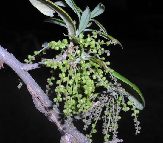 Quercus fusiformis  Quercus fusifor...