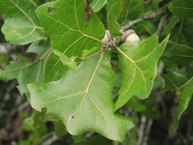 Blackjack oak leaf type