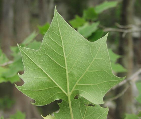 Platanus occidentalis leafunderside jpg  35913 bytes Platanus Occidentalis Leaf