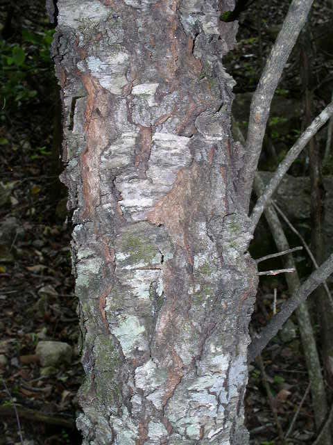 Prunus serotina What Prunus Serotina Bark Look Like