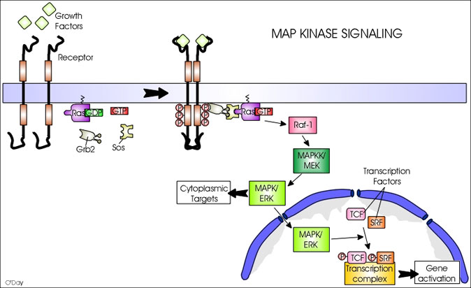 ras signalling pathway In both invertebrate and mammalian models, emerging evidence has also implicated components of the ras signaling pathway in aging and.